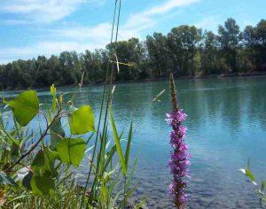 A Feyzin, les fleurs du Rhône Photo de Patrick Huet.